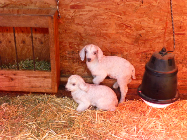 Lost Prairie Farm, LLC - BOER & SAVANNA GOAT Kids IN MONTANA